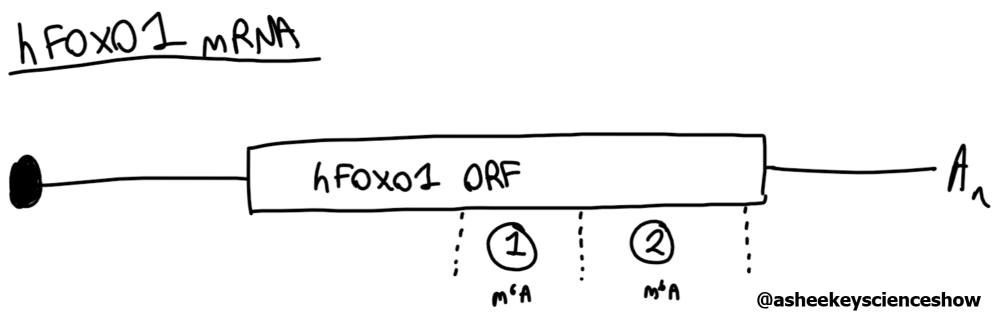 foxo1